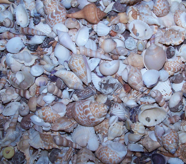 Polished Sea Shells Beach Shells 1+ LB Wholesale Beach Seashells SEA Shells 1/2