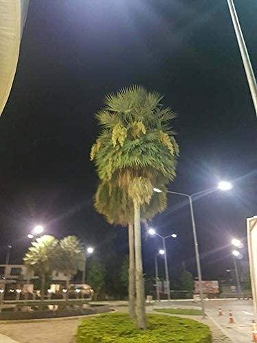 10 Seeds Palm Black Seeds