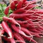 100 CHINA ROSE RADISH (Chinese Winter Radish) Raphanus Sativus Vegetable Seeds