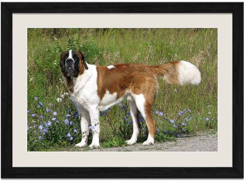 CU.RONG Saint Bernard Dog Grass Walk Wood Frame Poster Home Art Deco Picture Print Framed Painting(16x24 in Black Frame)