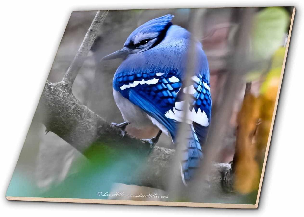 3dRose Lee Hiller Photography Hot Springs National Park Wildlife - Birds Shy Blue jay - 4 Inch Ceramic Tile (ct_18039_1)