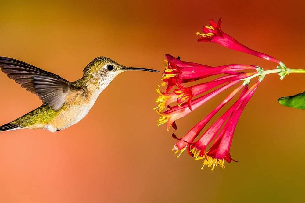 Art Print on Canvas Wall Decor Poster (hummingbird flying red flowers) Size:24x36inch