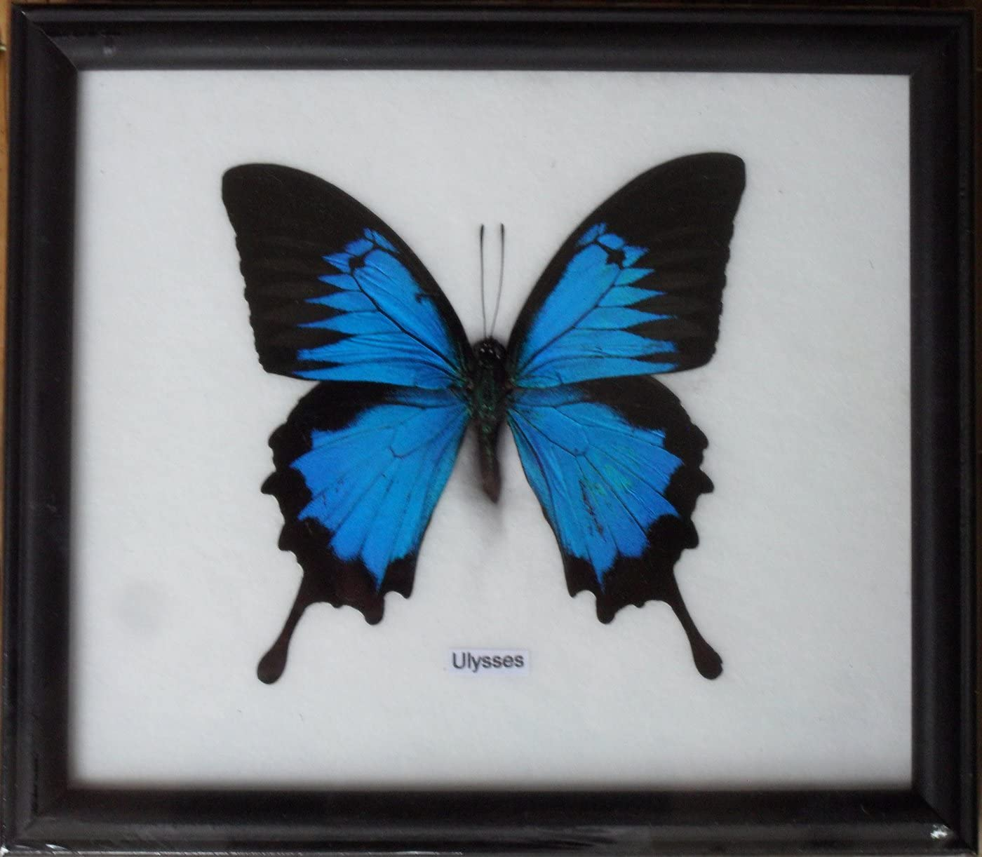 Insectfarm Real Single Papilio ULYSSES Butterfly Taxidermy in Frame