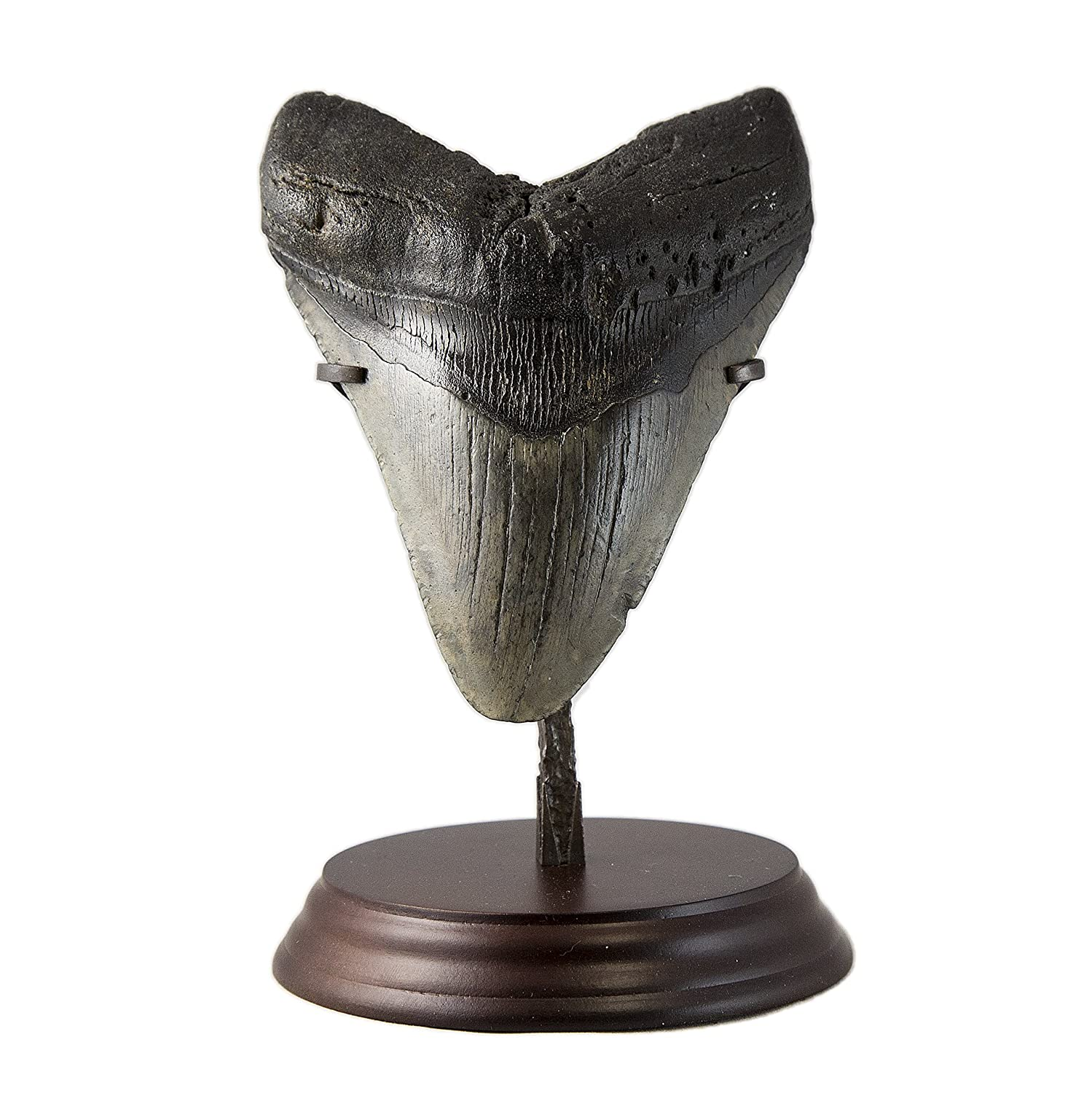 Beverly Oaks Huge Museum Quality Real Megalodon Tooth Fossil - Giant Shark Tooth - MT05 (6 1/16th inch)