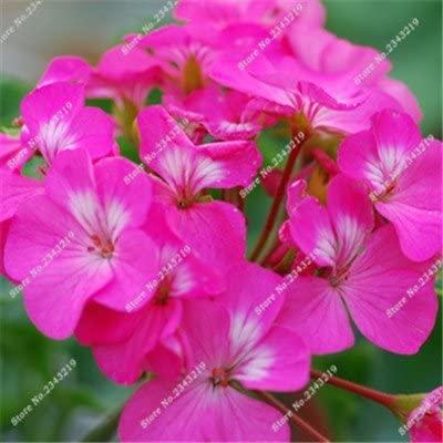 Big Promotions100pcs a Bag Geranium Seeds, Garden Flowers Perennial Fleur Graine Geranium,Indoor Plants Seed Geraniums 10016 4