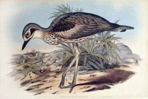 Oedicnemus Grallarius (Southern Stone Plover)