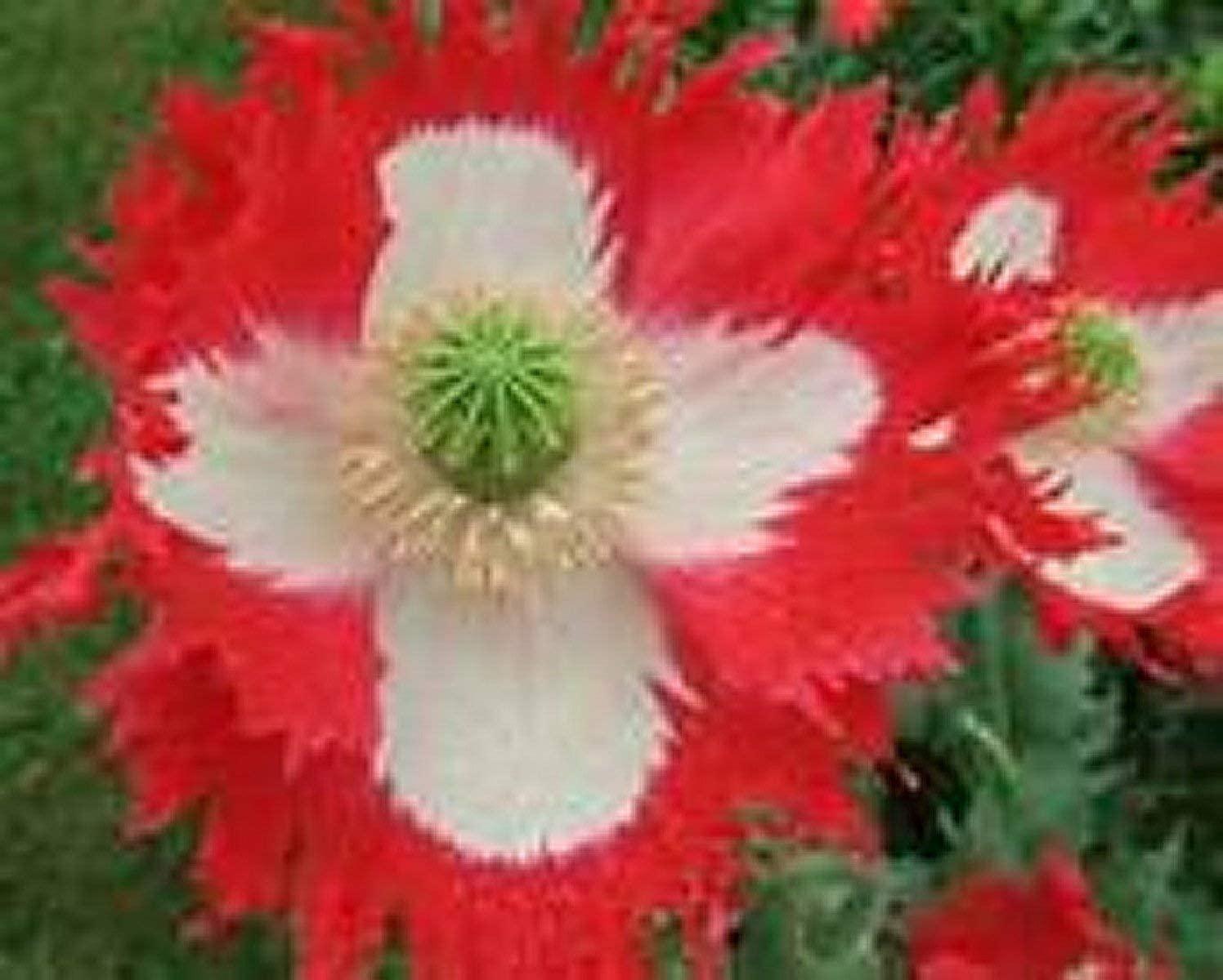 Poppy- Danish Flag - 100 Seeds