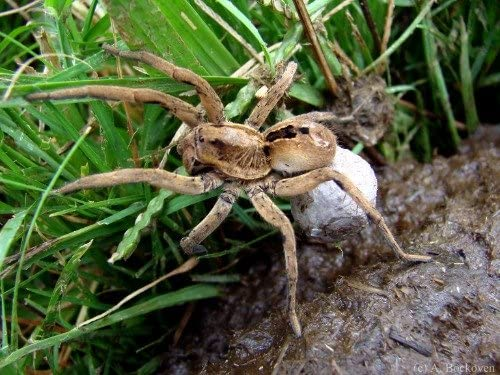 ConversationPrints WOLF SPIDER GLOSSY POSTER PICTURE PHOTO PRINT BANNER insect arachnid