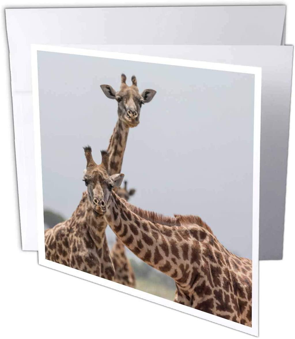 3dRose Africa, Kenya, Amboseli NP. Close-up of Giraffes. - Greeting Cards (gc_329257_1)