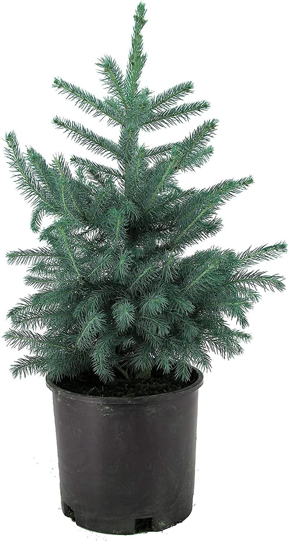 AMERICAN PLANT EXCHANGE Real Colorado Blue Spruce Miniature Christmas Tree Live Plant, 3 Gallon Pot, Blue & Silver Foliage