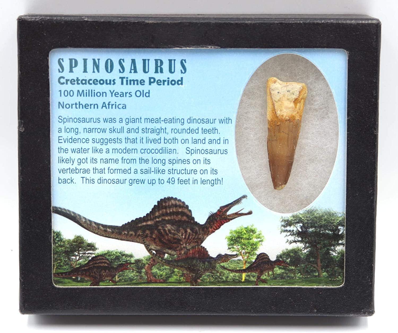 Spinosaurus Dinosaur Tooth Fossil 1.988 inch w/ Info Card MDB #15820 11o