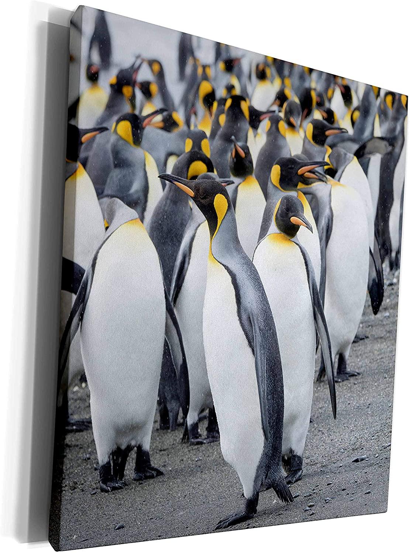 3dRose King Penguin rookery, Salisbury Plain in Bay of. - Museum Grade Canvas Wrap (cw_329405_1)