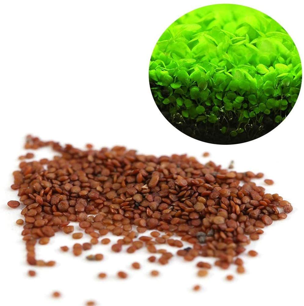 Gigicloud Aquarium Plant Seeds, Easy to Grow Aquatic Plant Seeds, Fast Growing Aquarium Carpet Seeds - Creates a Natural Ecosystem for Your Fish Big Leaf