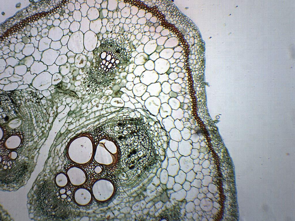 25PK Pumpkin Stem - Prepared Microscope Slides - Classroom Pack, 25 Slides in Storage Case - Biology & Microscopy - Eisco Labs