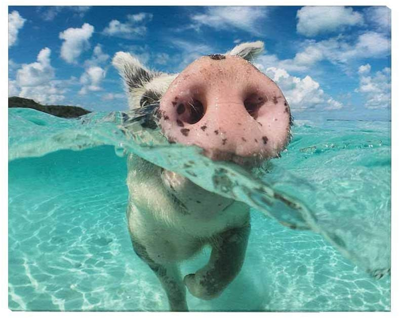 InterestPrint Funny Wild Swimming Pig on Big Majors Cay in the Bahamas Canvas Prints Wall Art Stretched and Framed Modern Home Decor, 20 x 16 Inches