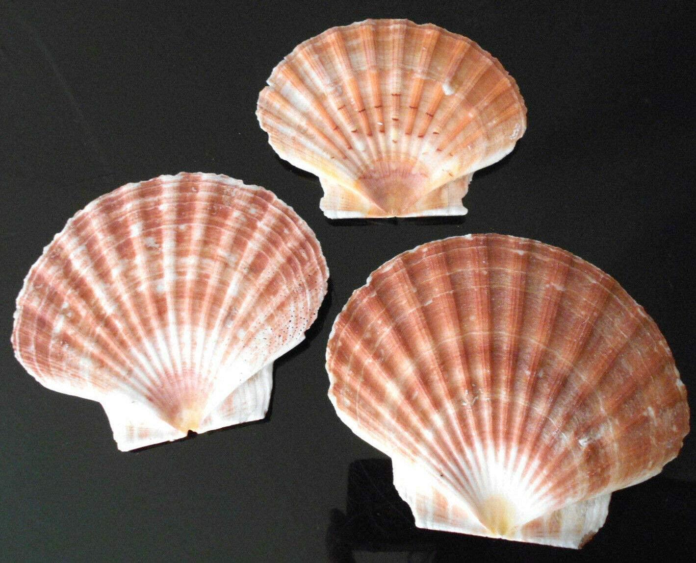 3 Irish Flat Scallops Shells Seashell 3-4 Crafts Beach Cottage Nautical Decor - Ocean Beach Seashells Perfect for Home Decoration, Art Craft, Vase Filler Fish Tank