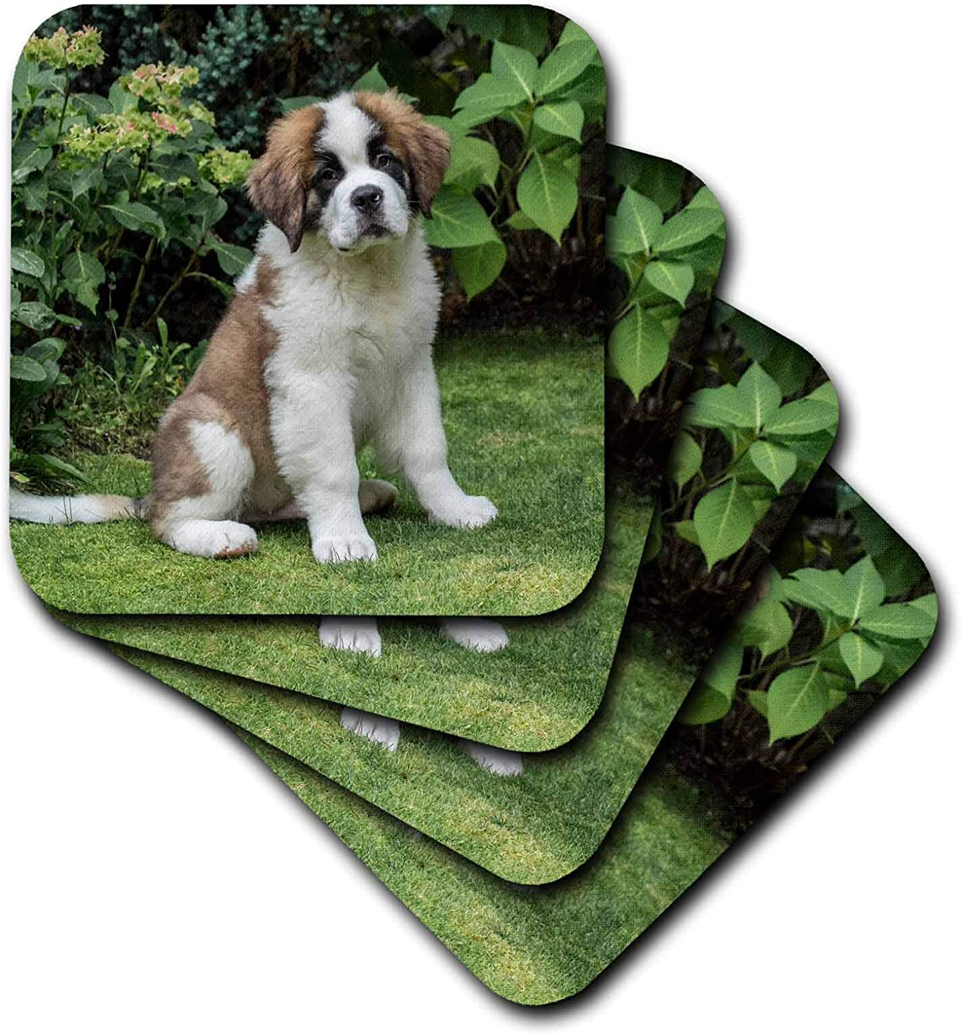 3dRose Portrait of a three month old Saint Bernard puppy in his yard - Coasters (cst_332850_2)