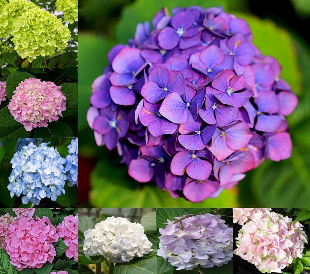 Daisy Garden Mixed Nikko Blue Hydrangea Seeds, Fast Growing Shrub, Giant Snowball Hydrangea