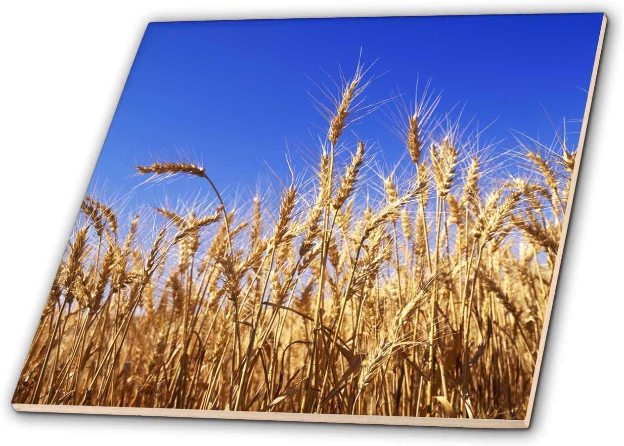 3dRose USA, Washington. Wheat ready for harvest in Palouse farm country. - Tiles (ct_332420_7)