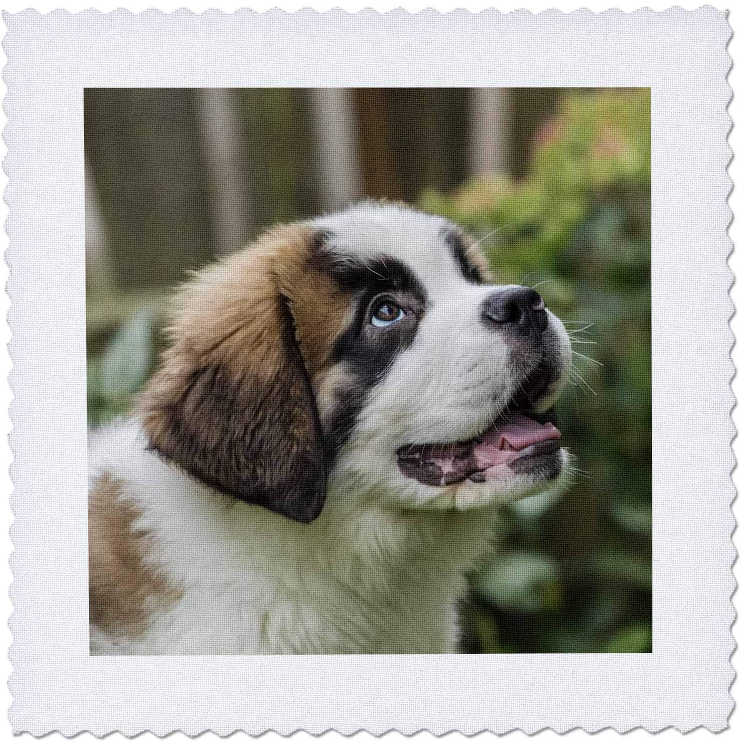 3dRose Three month old Saint Bernard puppy expecting a treat. - Quilt Squares (qs_332849_10)