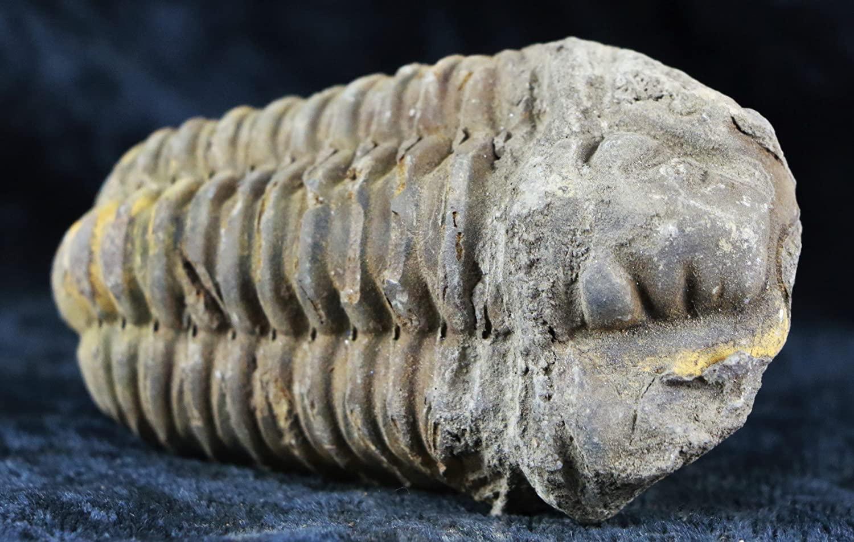 Flexicalymene Trilobite Ordovician Age 400 Million Years Ago From Morocco