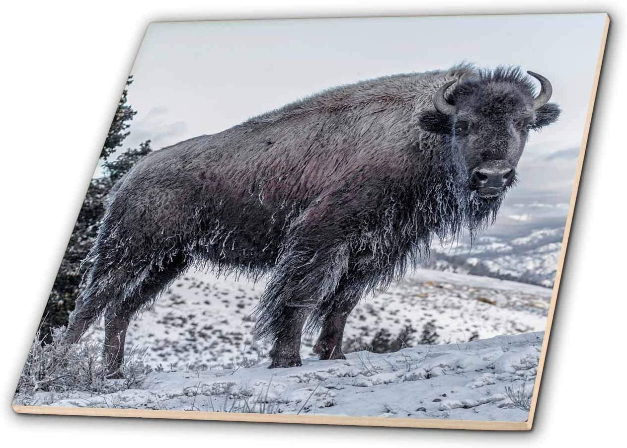 3dRose Usa, WY, Yellowstone NP. Bison after swimming, icicles on its coat - Tiles (ct_333293_2)