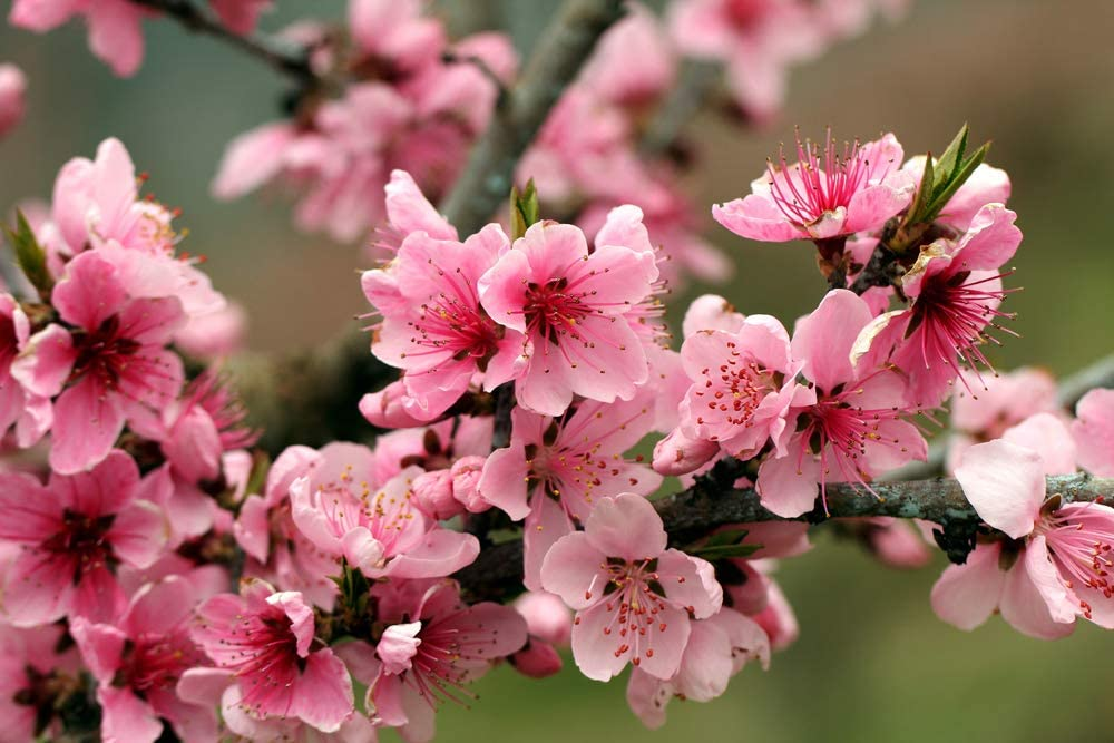 Tree Bright Spring Pink Flowers Petals (PW03265) Poster Art Print on Canvas 36