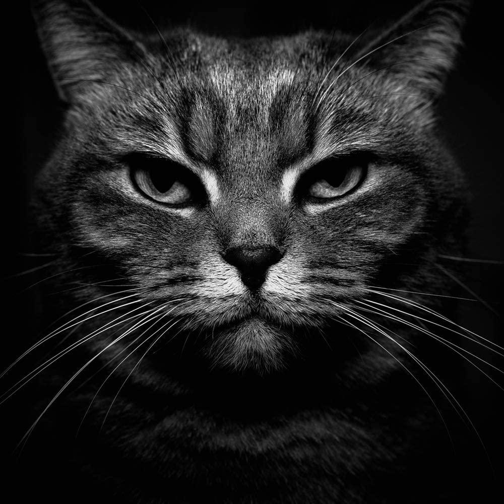Black White Cat Close Up Monochrome Pet Stare (N002036) Poster Art Print on Canvas 20